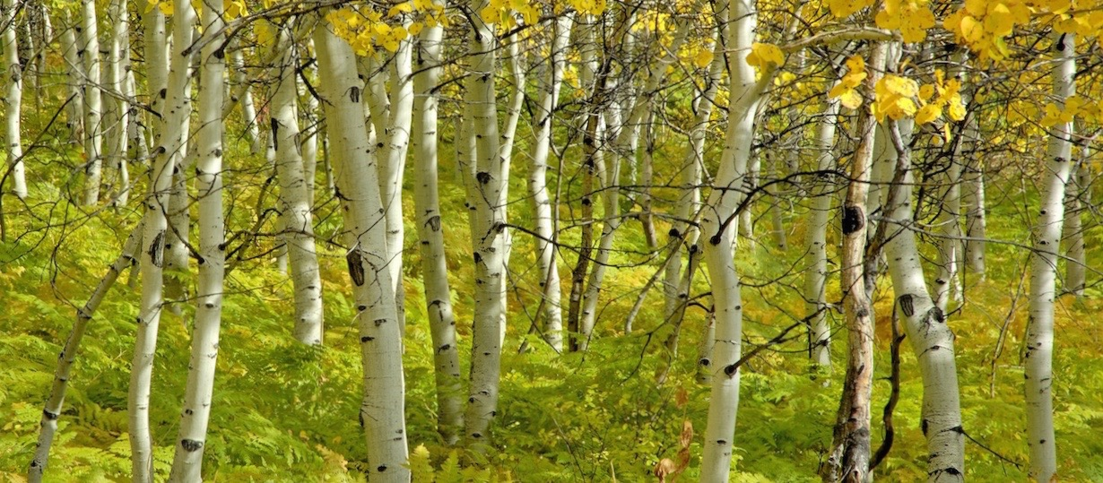 birches_trees_autumn_grove_young_growth_light_gold_60746_3840x1200 (2)